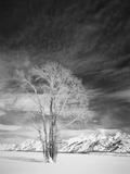 Cottonwood Tree in Winter  Wyoming  USA