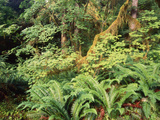 View of Hoh Rainforest  Olympic Peninsula  Olympic National Park  Washington State  USA