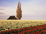 Tulip Field with Barn and Poplar Tree  Skagit Valley  Washington  USA