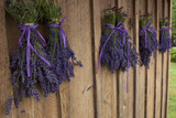 Bunches of Lavender Drying Shed at Lavender Festival  Sequim  Washington  USA