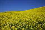 Rolling Hills of Canola  Palouse Country  Washington  USA