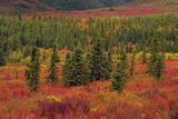 Autumn  Taiga  Denali National Park  Alaska  USA