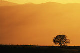 Walnut Creek  Mount Diablo State Park  Lone Oak Tree at Sunset  California  USA