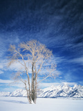 Cottonwood Tree in Winter  Wyoming  USA
