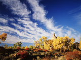 Rabbit Brush in Autumn Below Gunnison Butte at Green River Flood Plain  Utah  USA