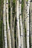 Aspen Tree Trunks  Healy  Alaska  USA