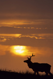 Sunset  Tule Elk Wildlife  Point Reyes National Seashore  California  USA