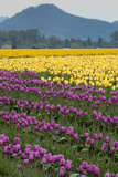 Tulips in Bloom at Skagit Valley Tulip Festival  Mount Vernon  Washington  USA