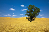 Lone Tree in Harvest Wheat  Palouse Country  Washington  USA