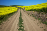Back Road  Canola Farm Fields  Palouse Country  Washington  USA