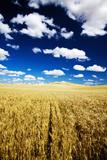 Golden Harvest Wheat  Palouse Country  Washington  USA