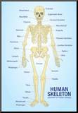 Human Skeleton Anatomy Anatomical Chart Poster Print