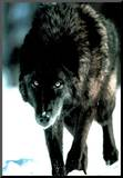Black Wolf Hunting In The Snow Art Print Poster
