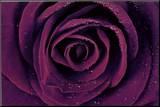 Purple Rose Close-Up Art Print Poster