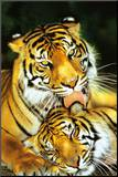 Tiger - Mothers Love