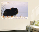 Musk Ox Bull Wildlife  Arctic National Wildlife Refuge  Alaska  USA