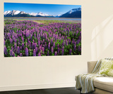 Kenai National Wildlife Refuge  Lupines in Bloom and Kenai Mountains  Alaska  USA
