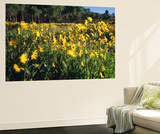 View of Sunflower and Aspen Meadow  Sierra Madre  Wyoming  USA