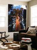 Giant Sequoias  Yosemite National Park  California  USA