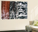 Giant Forest  Giant Sequoia Trees in Snow  Sequoia National Park  California  USA