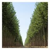 Poplar Grove 3