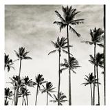 Coconut Palms I 'Cocos nucifera'  Kaunakakai  Molokai