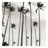 Coconut Palms II 'Cocos nucifera'  Kaunakakai  Molokai