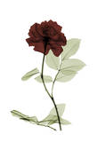 Ox Blood Rose