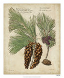 Antique Conifers II Giclée par Henry Fletcher