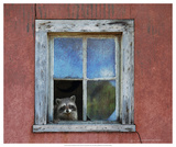 Raccoon Window