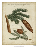 Antique Conifers III Giclée par Henry Fletcher