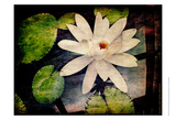 Lily Ponds III