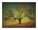 Barn Oak Study III