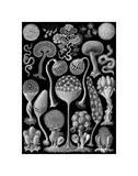 Microscopic Mycetozoa