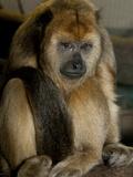 National Zoological Park: Black Howler Monkey