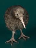 National Zoological Park: Brown Kiwi
