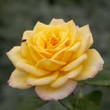 Roses: Gold Medal (Grandiflora)