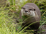 National Zoological Park: Asian Small-clawed Otter