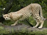 National Zoological Park: Cheetah