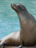 National Zoological Park: California Sea Lion