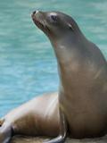 National Zoological Park: California Sea Lion Papier Photo