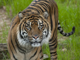 National Zoological Park: Sumatran Tiger