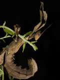 National Zoological Park: Australian Stick Insect