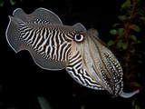 National Zoological Park: Common Cuttlefish