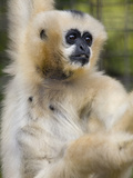 National Zoological Park: White-cheeked Gibbon