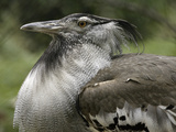 National Zoological Park: Kori Bustard