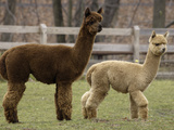 National Zoological Park: Alpaca