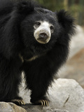 National Zoological Park: Sloth Bear