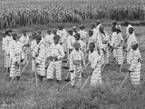 Juvenile Southern Chain Gang Convicts at Work in the Fields  Ca 1903