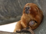 National Zoological Park: Golden Lion Tamarin